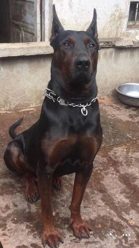 Doberman Pinscher Loyal And Fearless Rare Dogs Dogs Dog Breeds