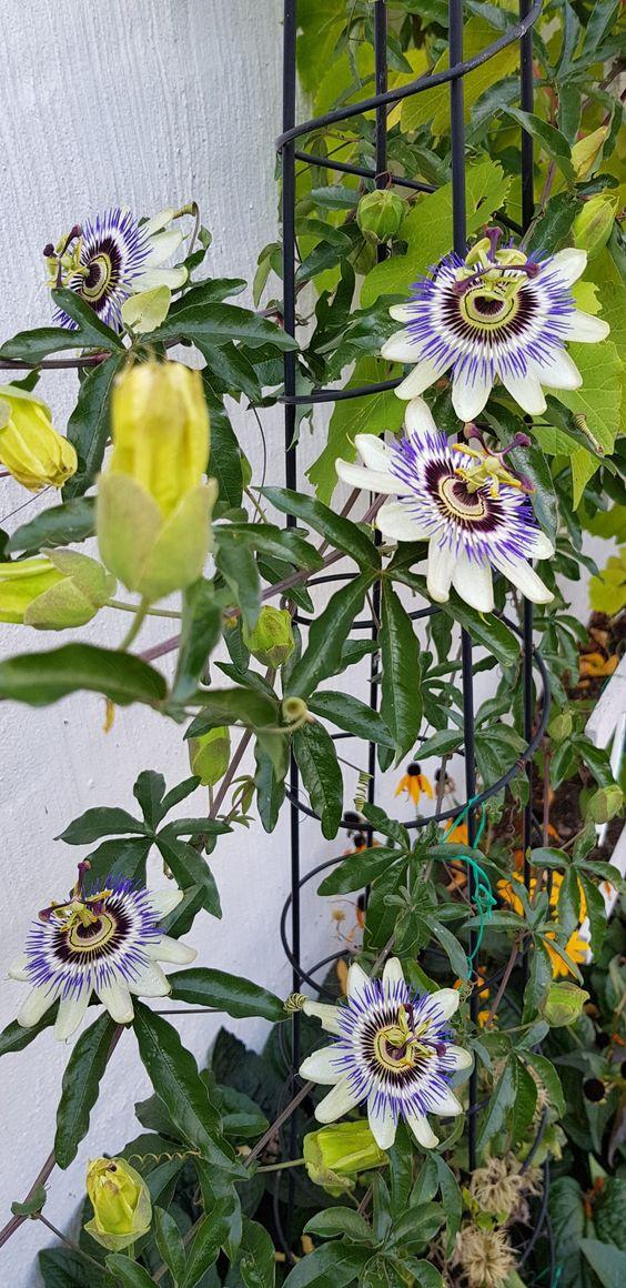 Maypop or Passionflower #plants #hardy #garden #gardening #gardenTips  #flowers #vines