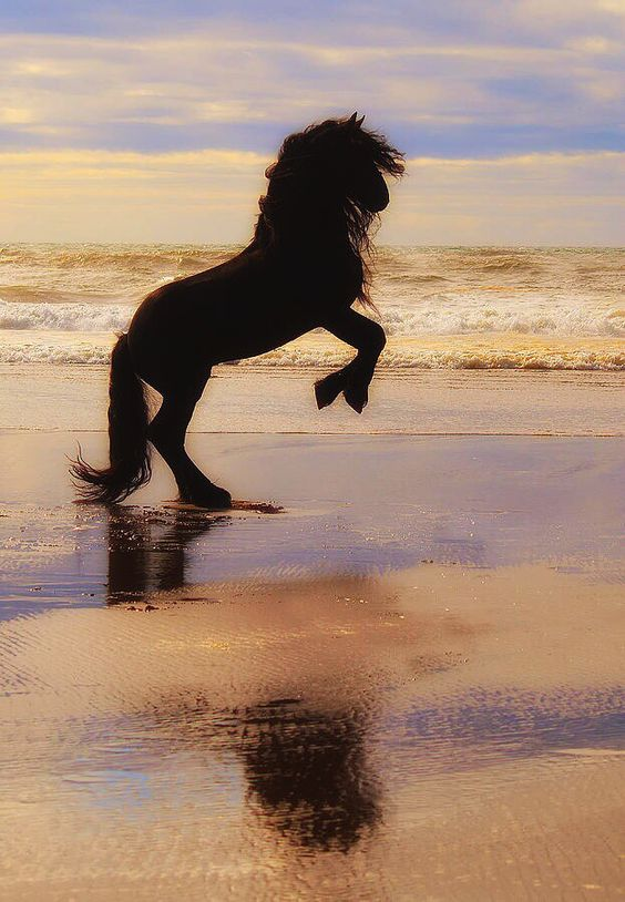 Friesian horse rearing on the beach in the sunset | Equine ...