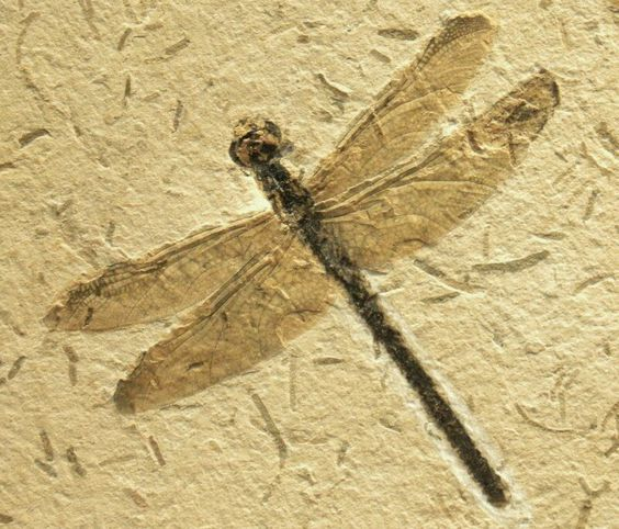 dragonfly fossils, millions of years...