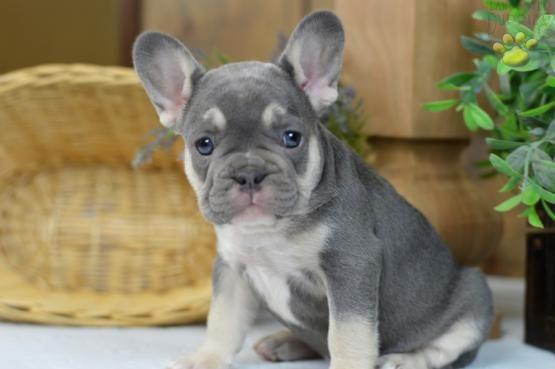 French Bulldog Frenchbulldog Puppiesofpinterest Pinterestpuppies Lancasterpuppies Puppies Pups Pup Pup Bulldog Puppies French Bulldog Puppies Bulldog