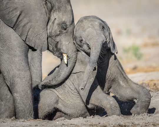 Pin Von Sonja Berner Auf Elefanten Ab 8 1 2020 In 2020 Chobe National Park Elefanten