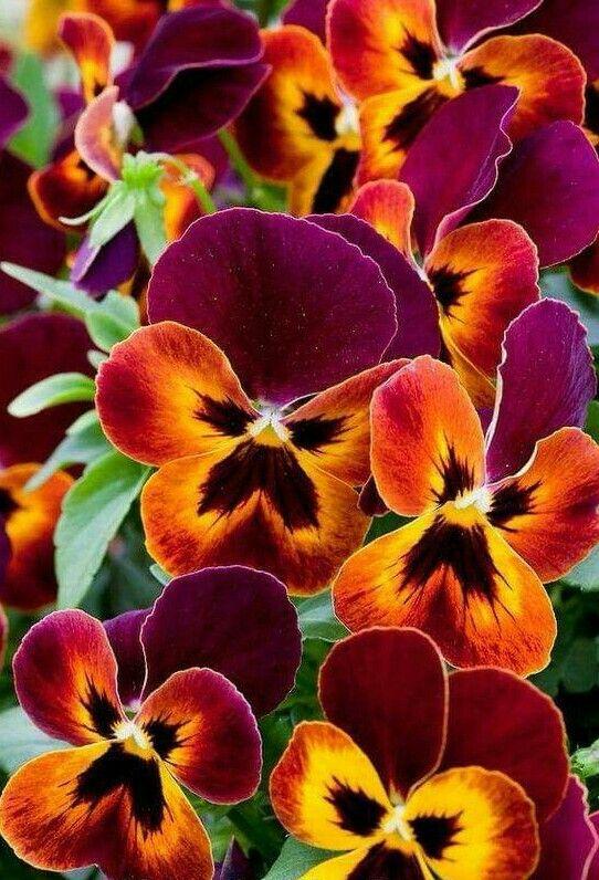 What To Do With Pansies After Flowering Flowersandflowerthings Pansies Flowers Flower Care Beautiful Flowers