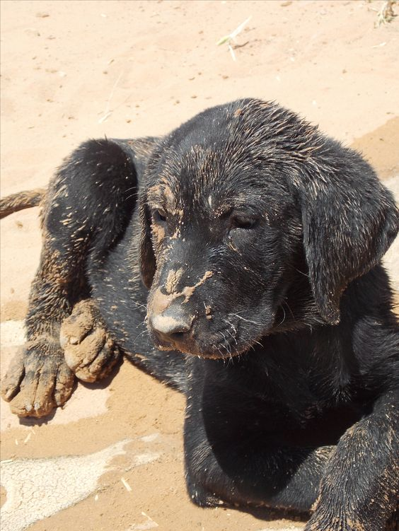 black lab in mud