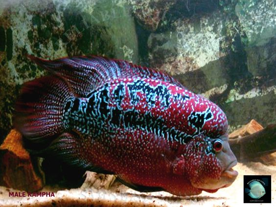 Flowerhorn Fish Pictures Red Warrior Kampha