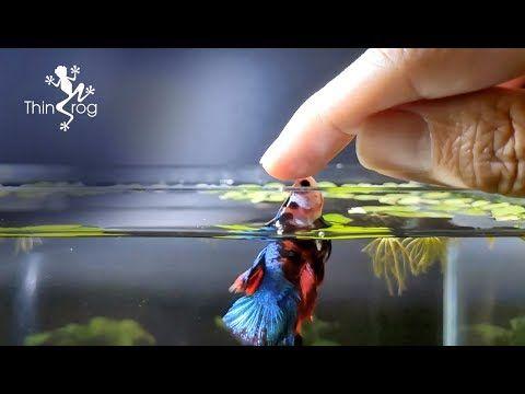 Betta Fish Male Vs Female In High Jump Youtube Betta Fish Male Vs Female Betta Fish Toys