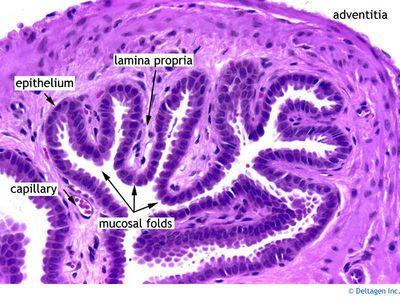 Gallbladder - Histology | Histology - Gall Bladder | Pinterest
