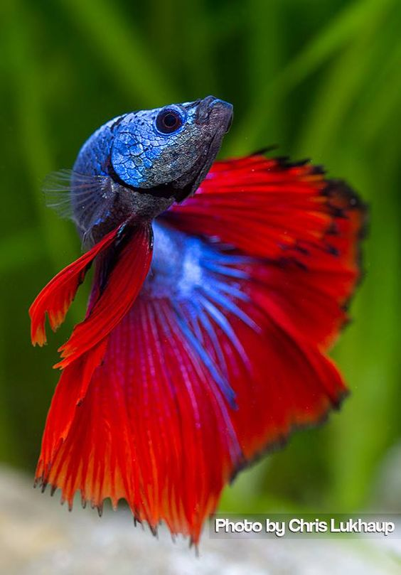 Beautiful fish and blue on pinterest for Betta fish colors