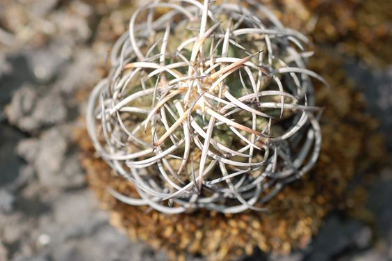 Protegida bajo sus espinas (Biznaga de chilito: Mammillaria magnimmama)