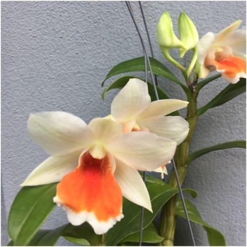 Dendrobium Cruentum Orchid Plant Whiteflower Whiteorchid Blooming Size Flower Orchids Dendrobium Orchids