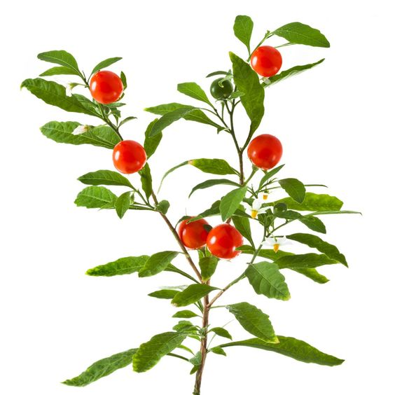 Ashwagandha: An Herb That Fights Aging, Stress and Disease