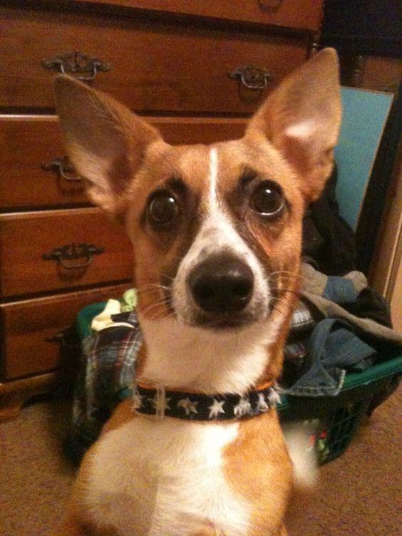 Corgihuahua: Animals, Cuteness, Stuff Worth, Dogs, Corgihuahua, Worth Thinking