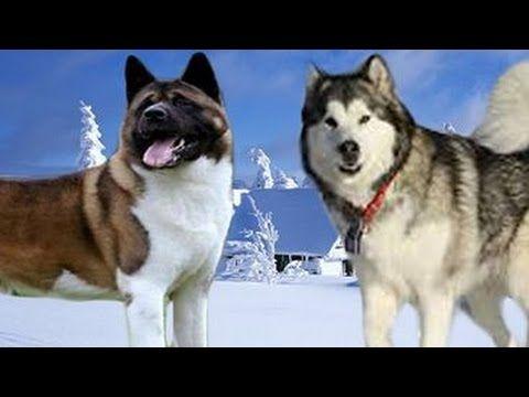 Pets Dogs Akita Vs Siberian Husky Breed Visual Profile