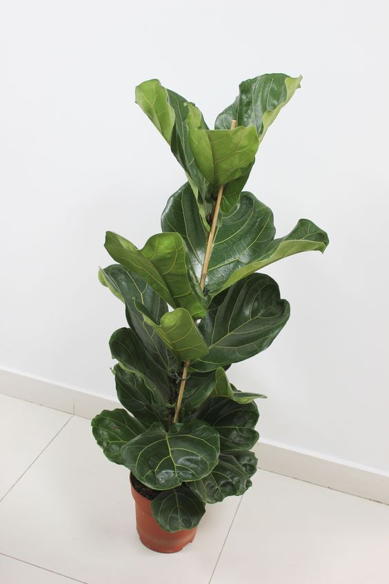 The Ficus Lyrata Commonly Called The Fiddle Leaf Fig Is A Perfect Indoor Specimen Plant The Plant Features Very Large Heav Tall Plants Garden Center Plants