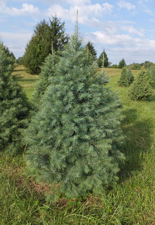 Types Of Christmas Trees Christmas Tree Species At Middleburg Farm Types Of Christmas Trees Christmas Tree Christmas Tree Farm