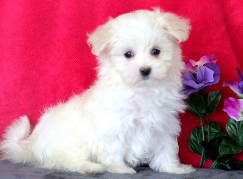 Maltese Puppy For Sale In Mount Joy Pa Adn 61418 On Puppyfinder