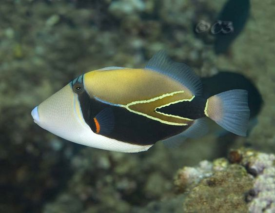 Pinterest the world s catalog of ideas for Hawaiian fish names and pictures