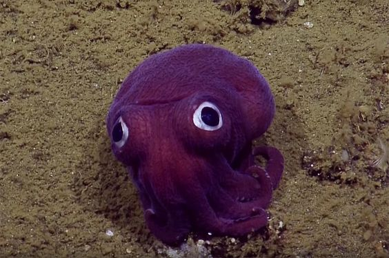 While studying the ocean depths off the coast of California, the E/V Nautilus came across this googly-eyed stubby squid.