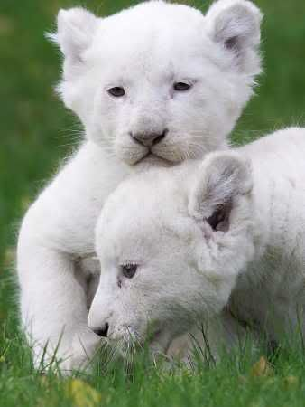 White Lion Cubs | CATS - Cats 1 | Pinterest | Beautiful ...