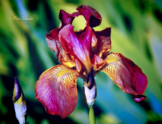 iris _v_. by phototubby