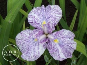 Japanese Iris Imperial Magic Japanese Iris