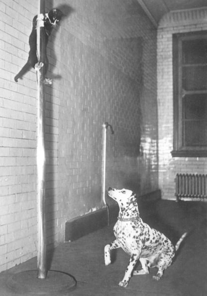 Henry, the feline mascot of Engine Company No.65, New York Fire Department, US, sliding rapidly down a pole from the bunkroom in authentic 'fireman-style' to the sound of the fire bell. Cappy, the co-mascot Dalmatian rides the engine while Henry guards quarters during firemen's response to alarms. (Photo by Planet News Archive/SSPL/Getty Images). 1941.