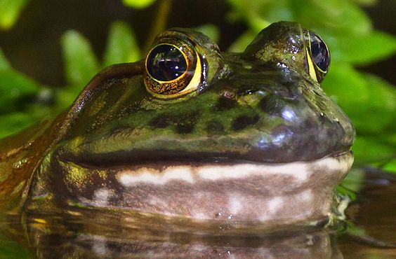 The American bullfrog is the largest frog species in North America. They are not picky eaters, this species will eat any animal they can capture and swallow, including worms, insects, crayfish, fish, other frogs (including other bullfrogs), snakes, small turtles, and even small mammals and birds. #Animaloftheweek http://ow.ly/dLAzd