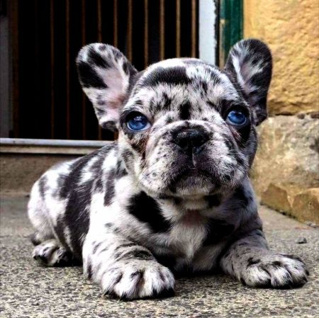 Blue Meryl French Bulldog Pup Adorable Canine Sweet Blue