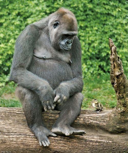 Wonder what this gorilla is thinking