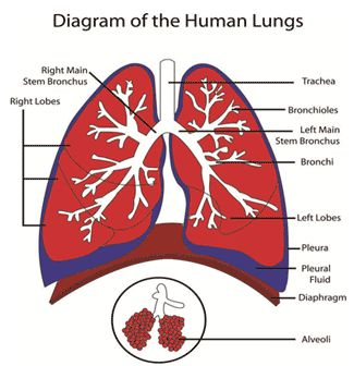 lungs cancer and lung cancer on pinterest : lung diagram - findchart.co