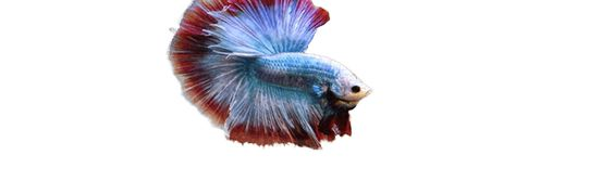 BettaSource is the number one source for betta fish care information and community interaction about Bettas.