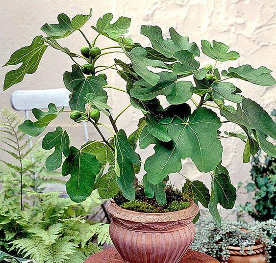 Plantas frutales para macetas: Higos