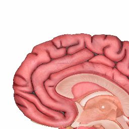 Brain – Human Brain Diagrams and Detailed Information interactive ...