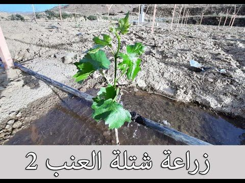 طريقة زراعة شتلة العنب 2 How To Plant A Grapes Tree 2 Youtube Grape Tree Plants Grapes