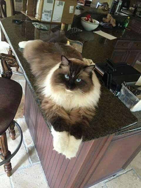 Fluffycatsbreeds Catsbreedsragdoll Ragdollcatsgrey Fluffy Cat Breeds