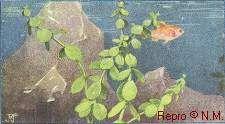 Abb. 7: Fettblatt (KOEMAN, goldfisch-recherche