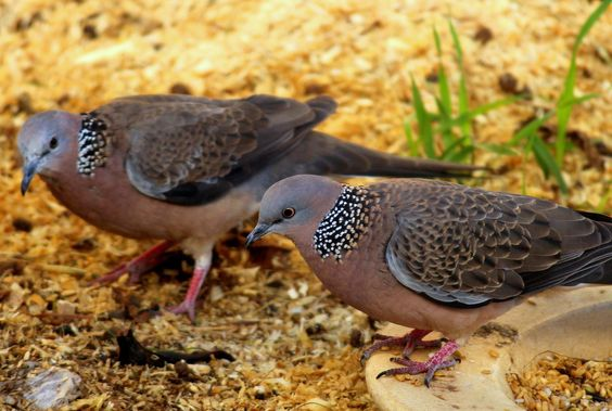 Spotted Doves by wolftraz