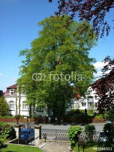 Alte Linde in einem Garten in Oerlinghausen im Teutoburger Wald bei Detmold im Kreis Lippe