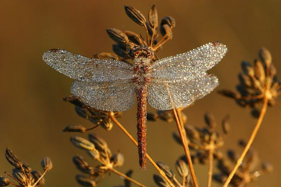 #Dragonfly covered with dew.
