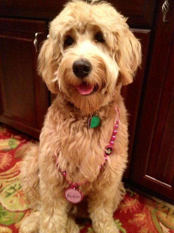Tillie - Medium F1 Goldendoodle - McDoodles.com | English ...
