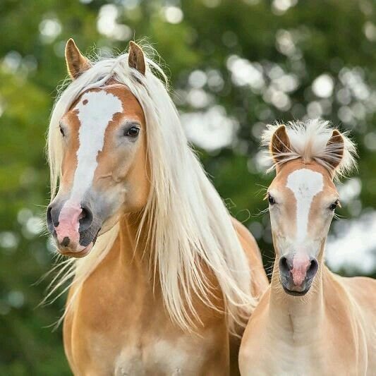 Pin By Paola R On Hoofshu Haflinger Horse Equine Photographer Horses