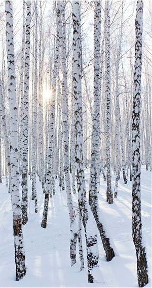 Winter serenity - a day in the winter forest | AXL, Shutterstock....love white birch trees!