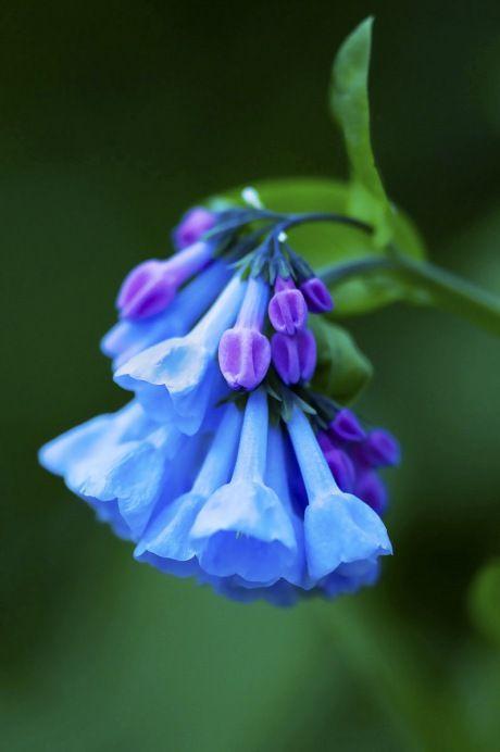 bluebells by bernie kasper