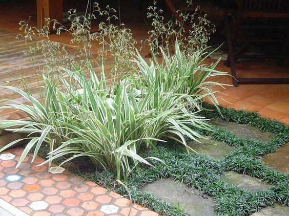 Clorofito planta de pequeno porte muito usada em - Plantas pleno sol ...
