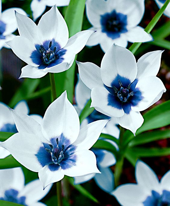 Tulip-Flower-Plant-With-White-And-Blue-flowers
