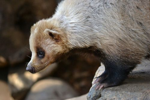 Japanese badger - Google Search