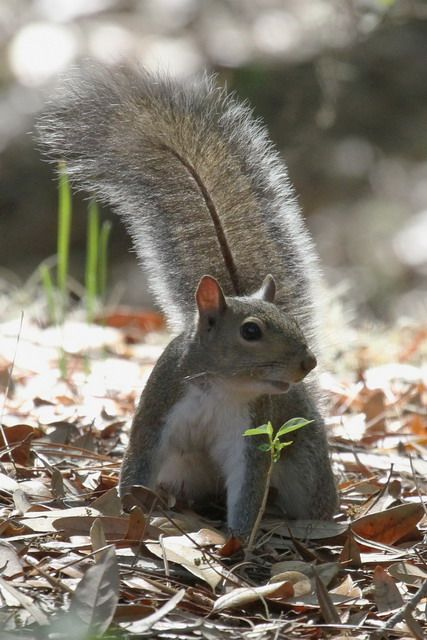 Eastern Grey Squirrel at the Magnolia Plantation Gardens, Charleston, S.C.:
