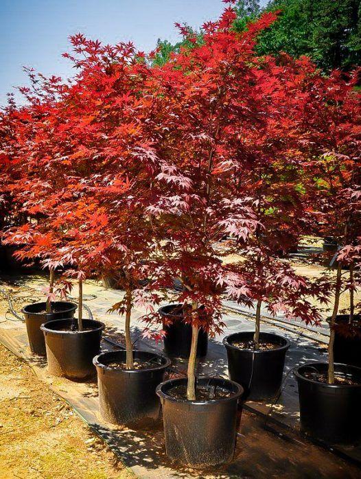 Fireglow Japanese Maple In 2020 Garden Shrubs Most Beautiful Gardens Beautiful Gardens