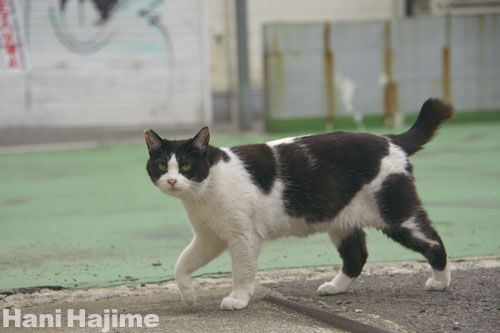 のしのしと駐車場を歩く 猫 動物 ねこ