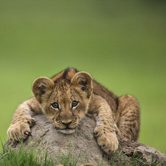 Image by @beverlyjoubert. A playful little lion cub clings to a termite hill.